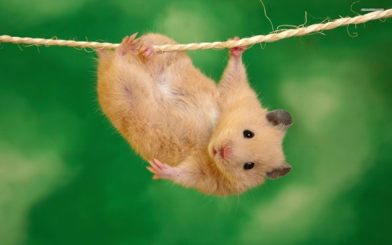 Animals funny hamsters ropes wallpaper