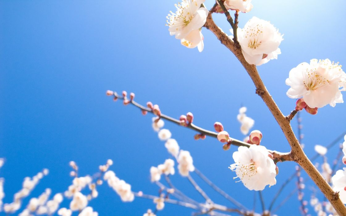 Nature cherry blossoms flowers spring (season) blossoms wallpaper