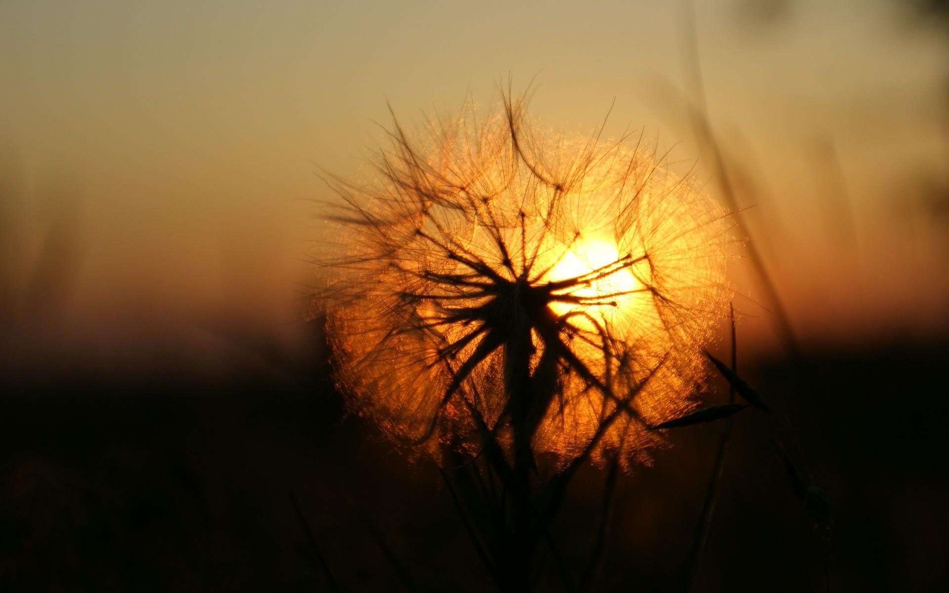 nature sunset grass dandelion - photo #2