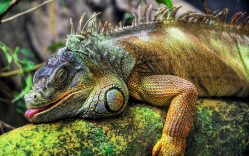 Animals reptiles iguana wallpaper