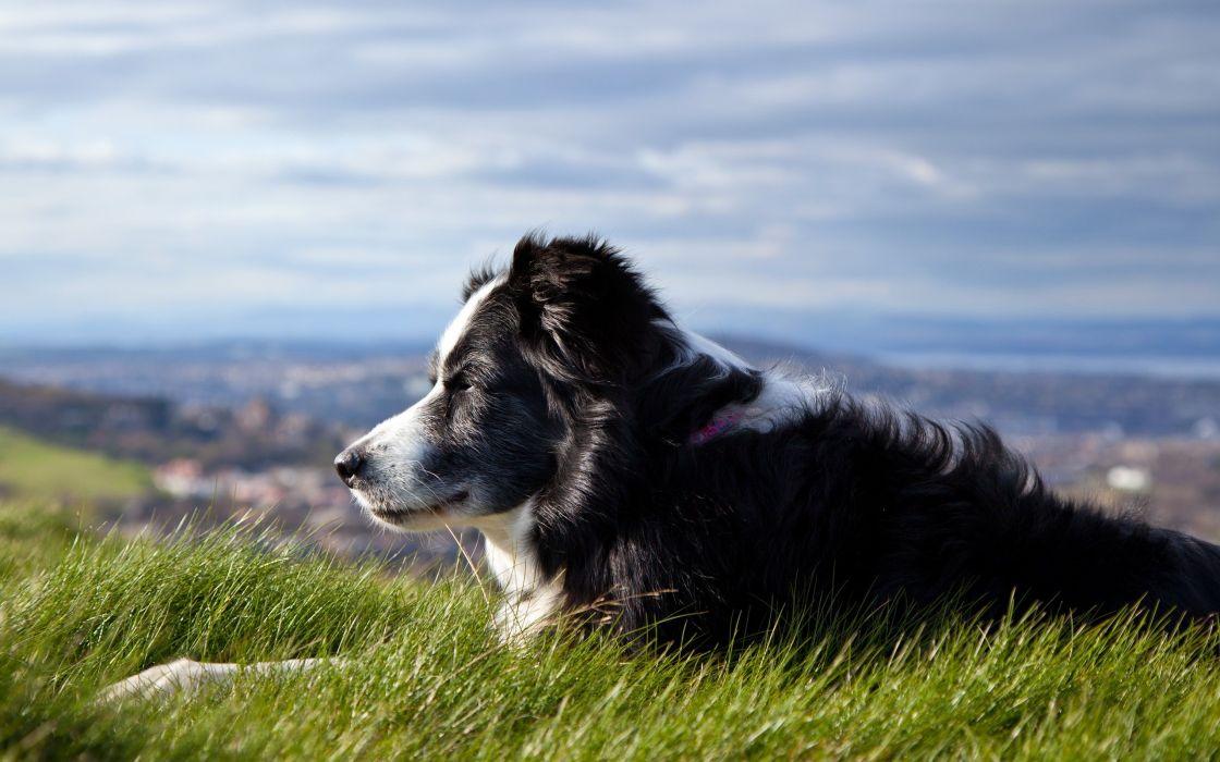 Animals grass dogs outdoors shepherd pets border collies collie australian shepherd wallpaper