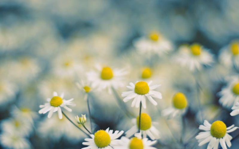 Flowers chamomile wallpaper