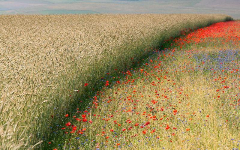 Landscapes nature flowers fields corn poppies wallpaper