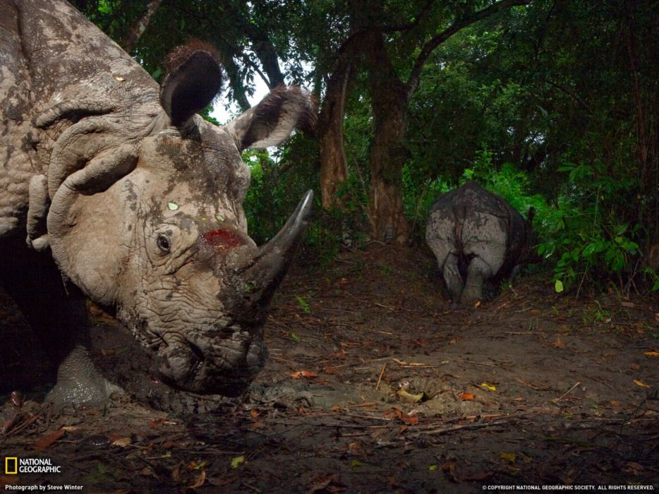 Nature animals national geographic rhinoceros wounds A wallpaper