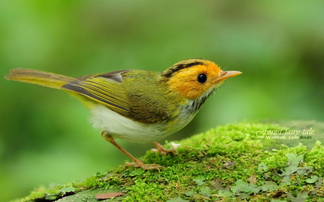 Birds depth of field warblers wallpaper