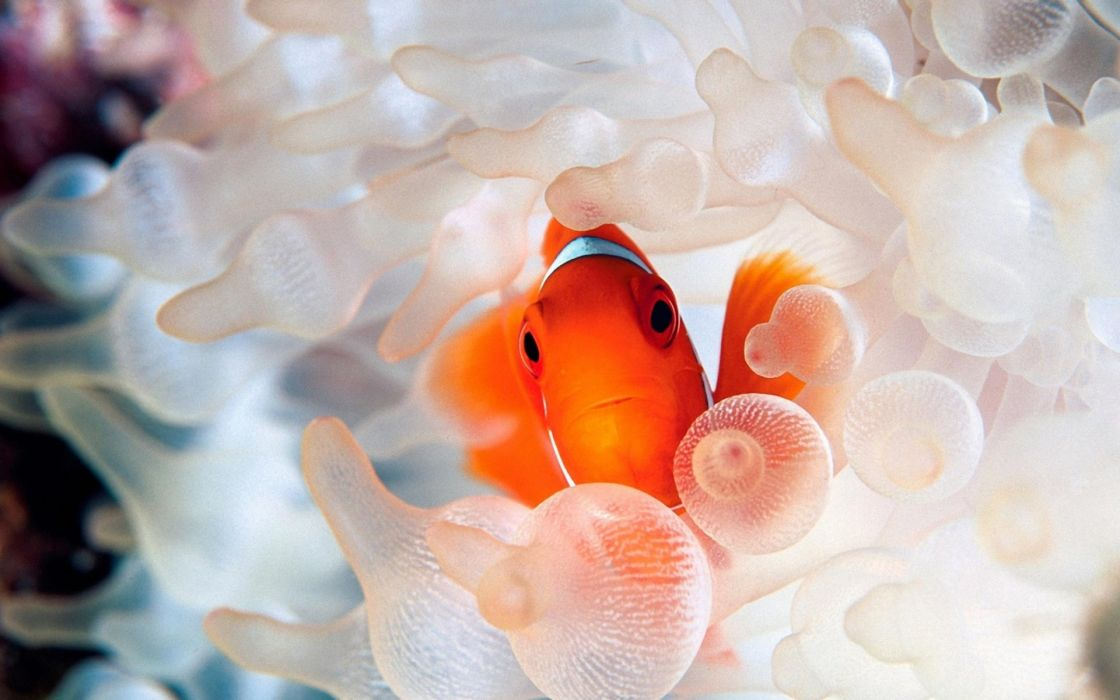 Fish clownfish wallpaper