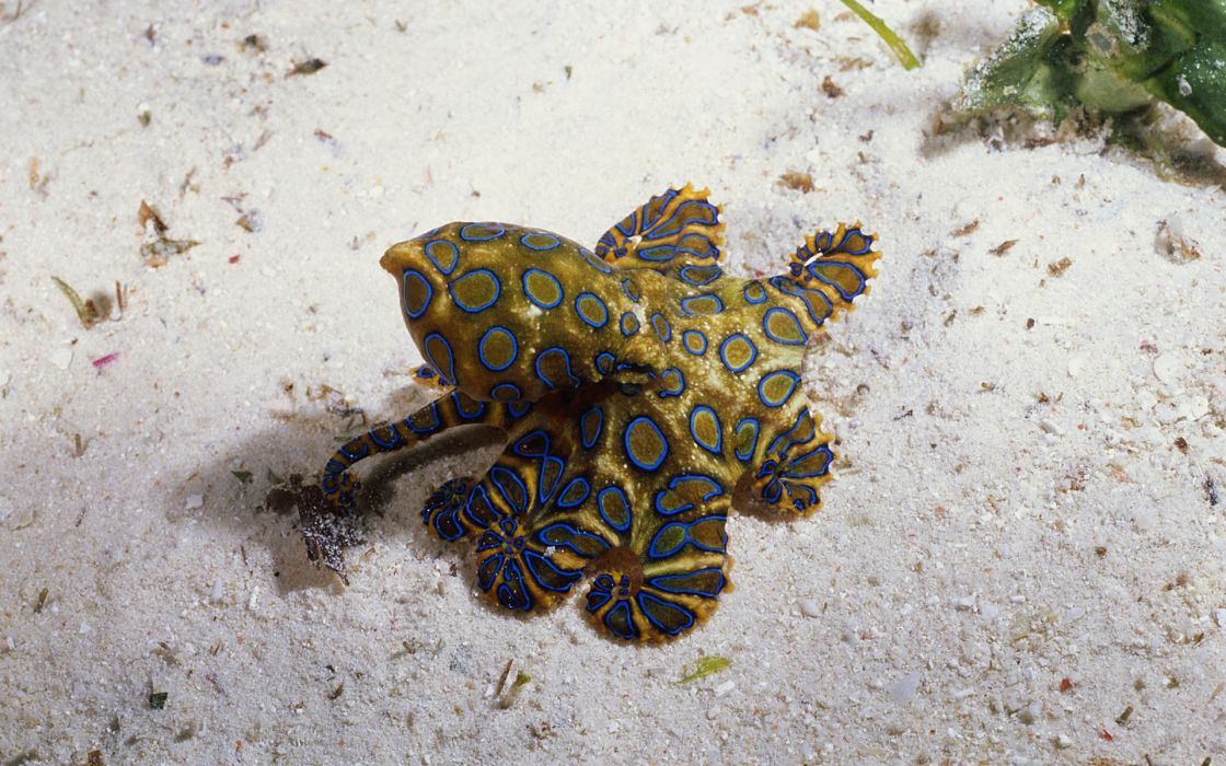 Ocean animals octopus underwater wallpaper