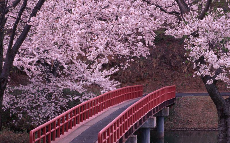 Landscapes cherry blossoms flowers bridges wallpaper