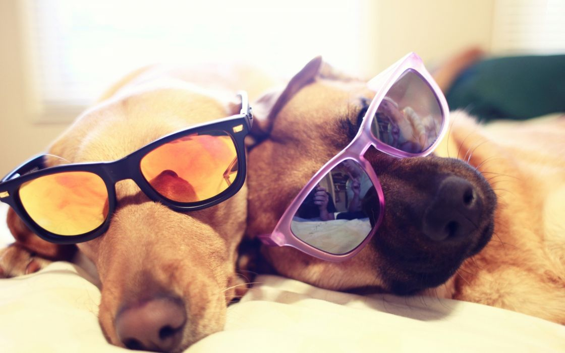 Animals dogs glasses sunglasses focus depth of field pets wallpaper