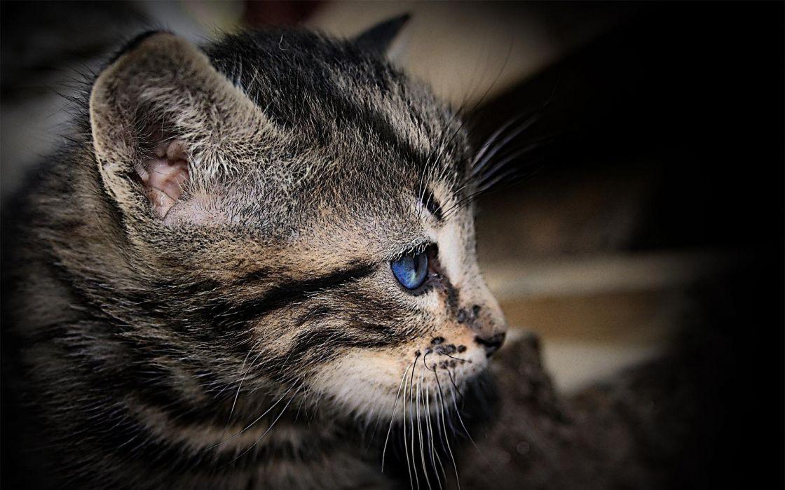 Cats blue eyes wallpaper