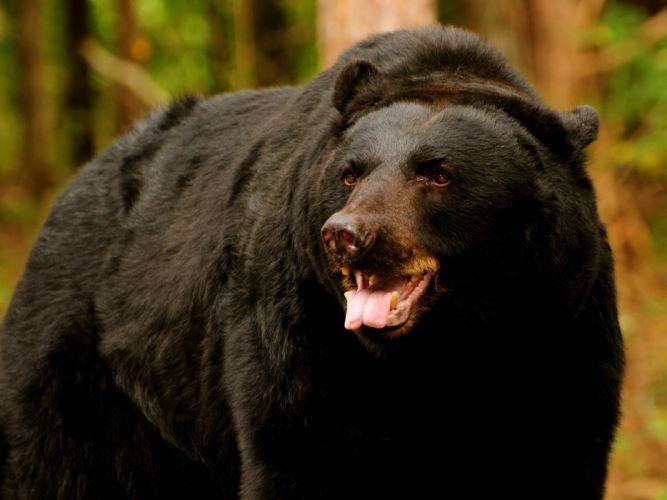 Bears depth of field wallpaper