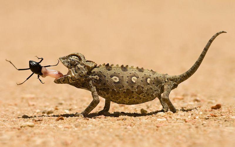 Chameleons reptiles eating wallpaper