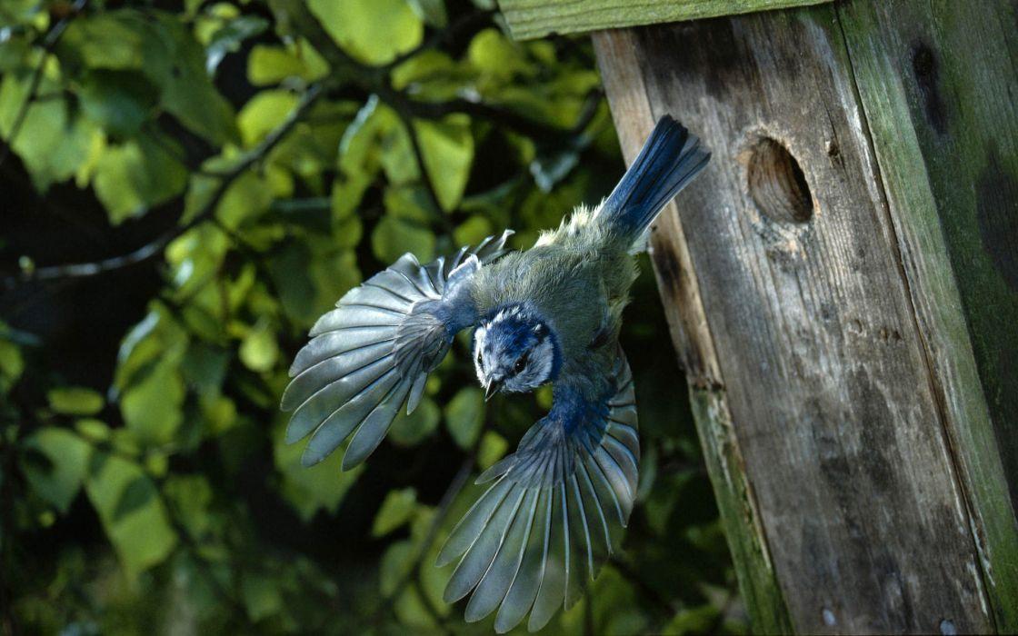 Birds blue tit chickadee birdhouses wallpaper
