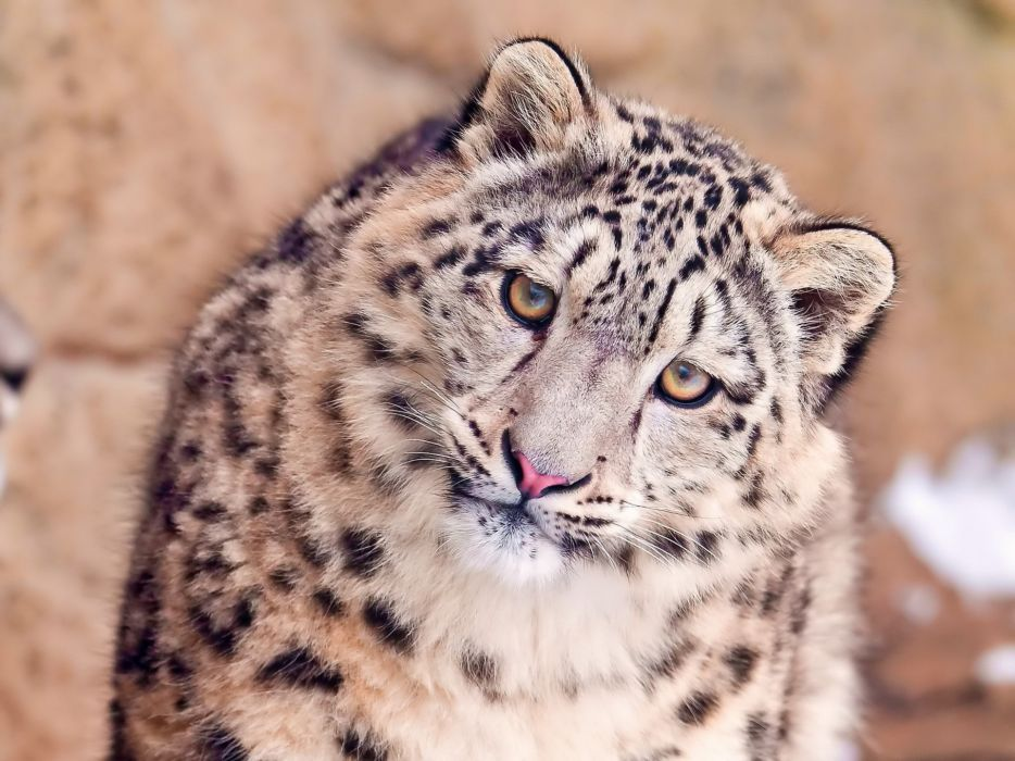 Eyes animals snow leopards muzzle wallpaper