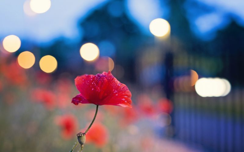 Nature flowers bokeh red flowers poppies blurred background wallpaper
