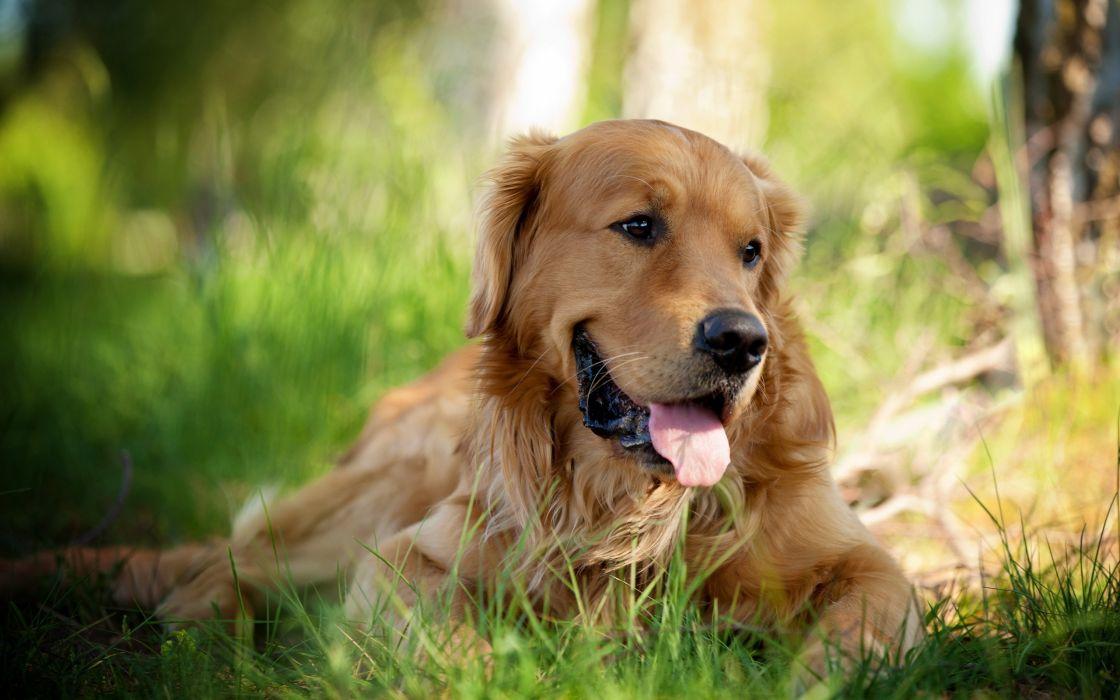 Animals dogs pets golden retriever wallpaper