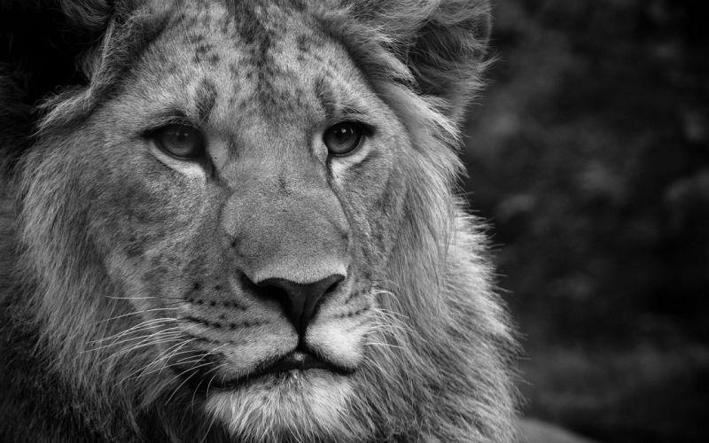 Black and white animals monochrome lions wallpaper