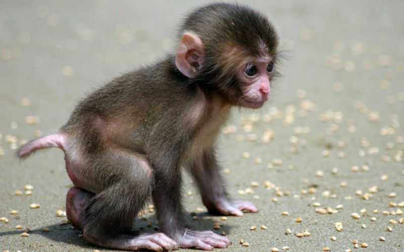 Nature animals monkeys baby animals wallpaper