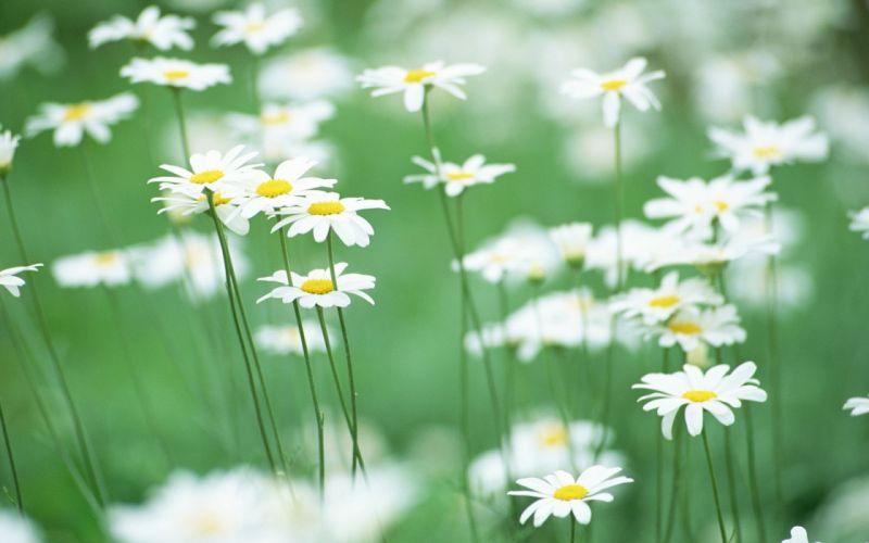 Nature flowers daisy wallpaper