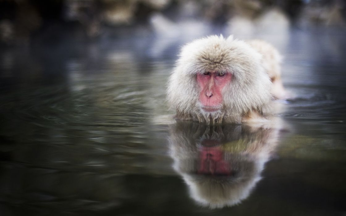 Water animals monkeys wild animals snow monkey japanese macaque wallpaper
