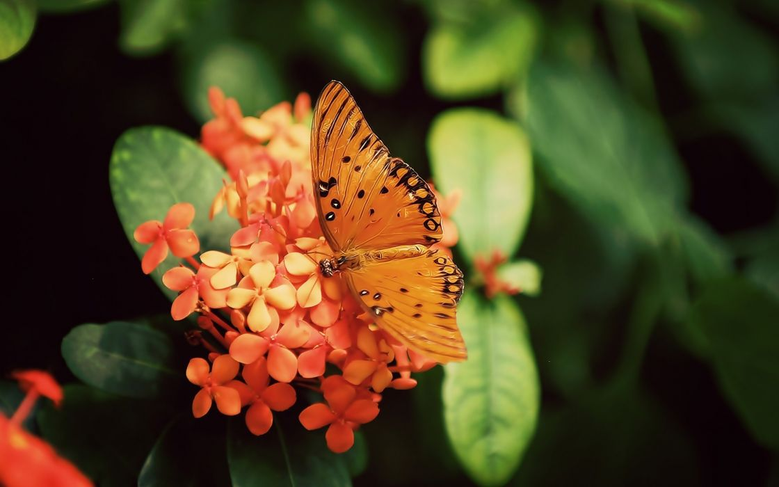Nature flowers butterfly orange insects depth of field wallpaper