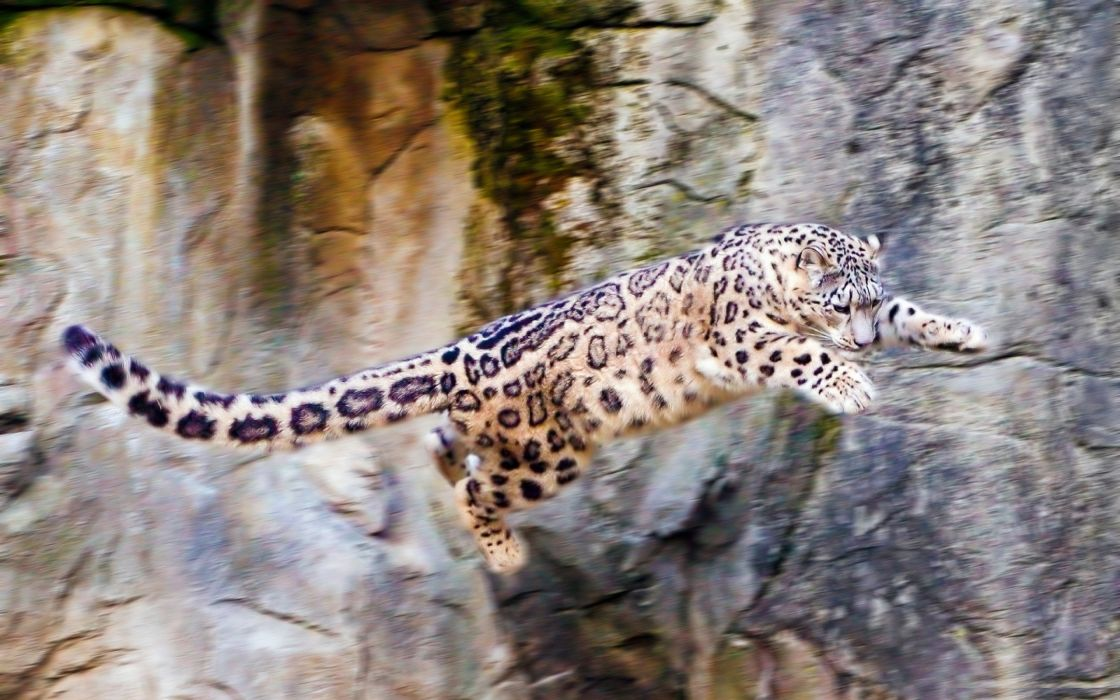 Nature flying animals jumping snow leopards wild animals wallpaper