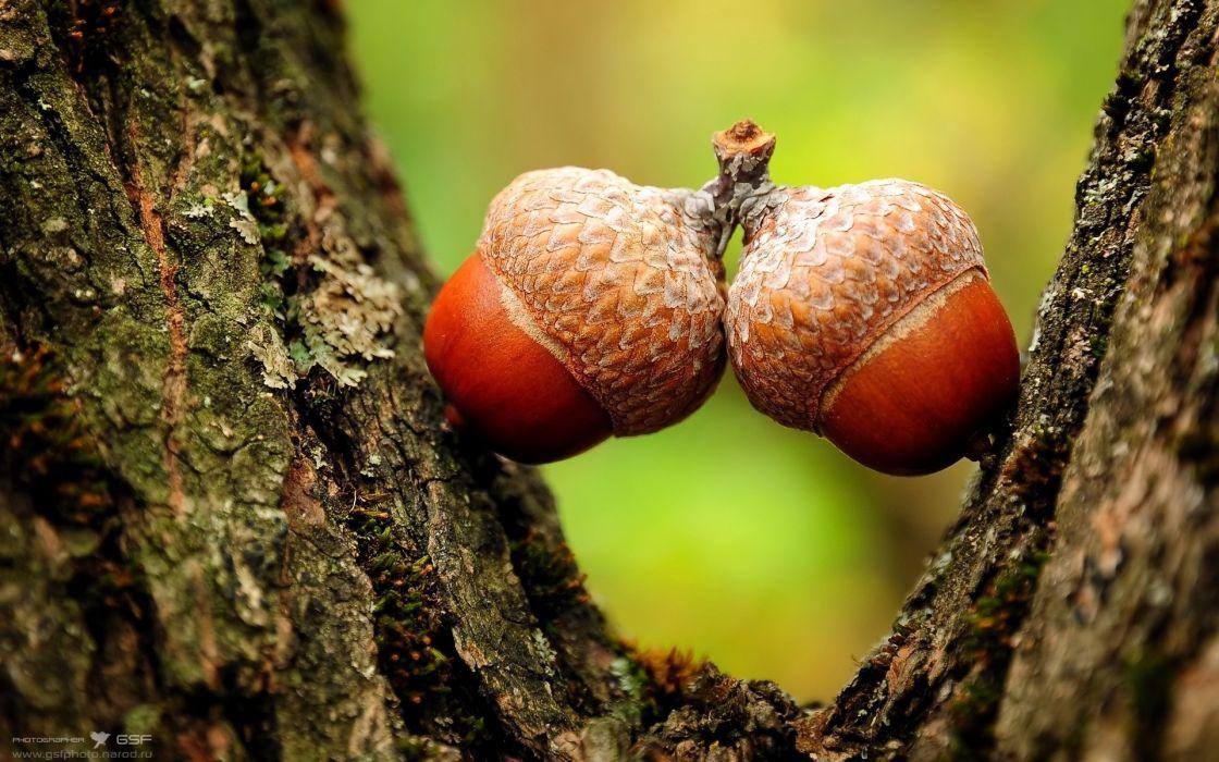 Nature acorns macro depth of field wallpaper