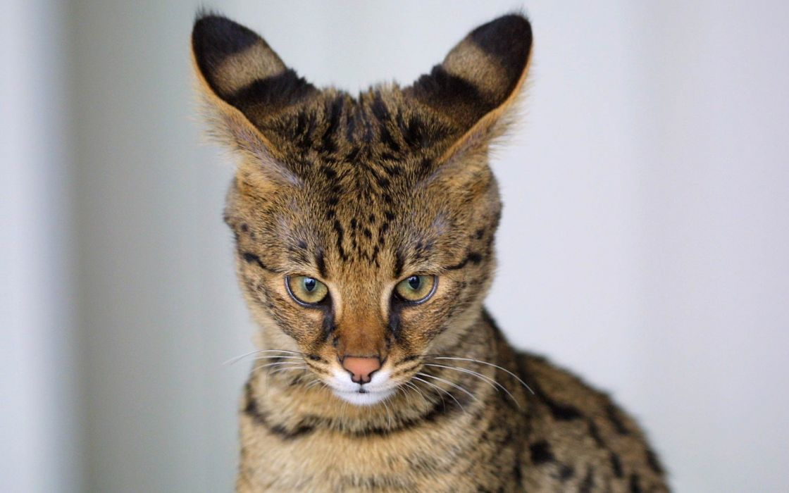 Cats animals wildlife feline wallpaper