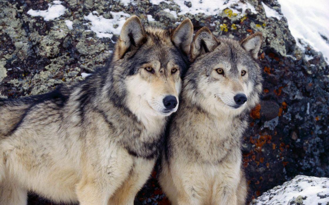 Winter (season) animals wolves wallpaper