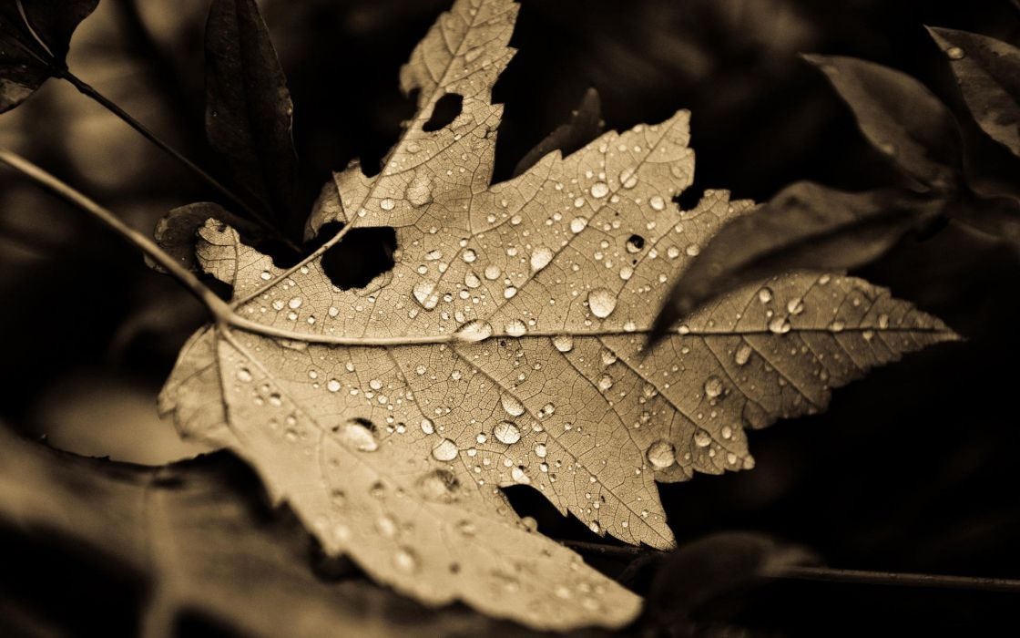 Nature leaves plants sepia monochrome fallen leaves wallpaper