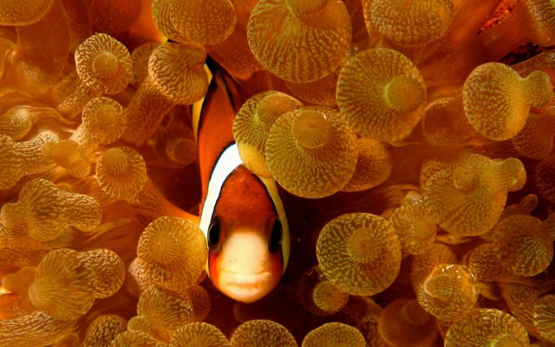 Fish clownfish sea anemones wallpaper