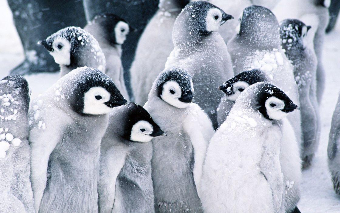 Snow birds penguins wallpaper