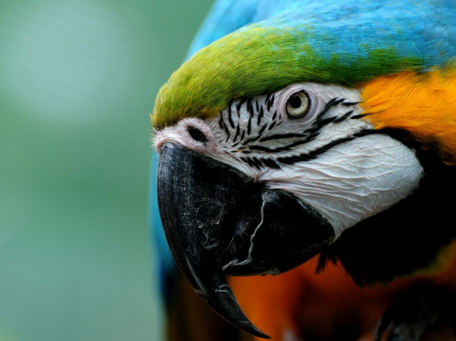 Birds parrots wallpaper