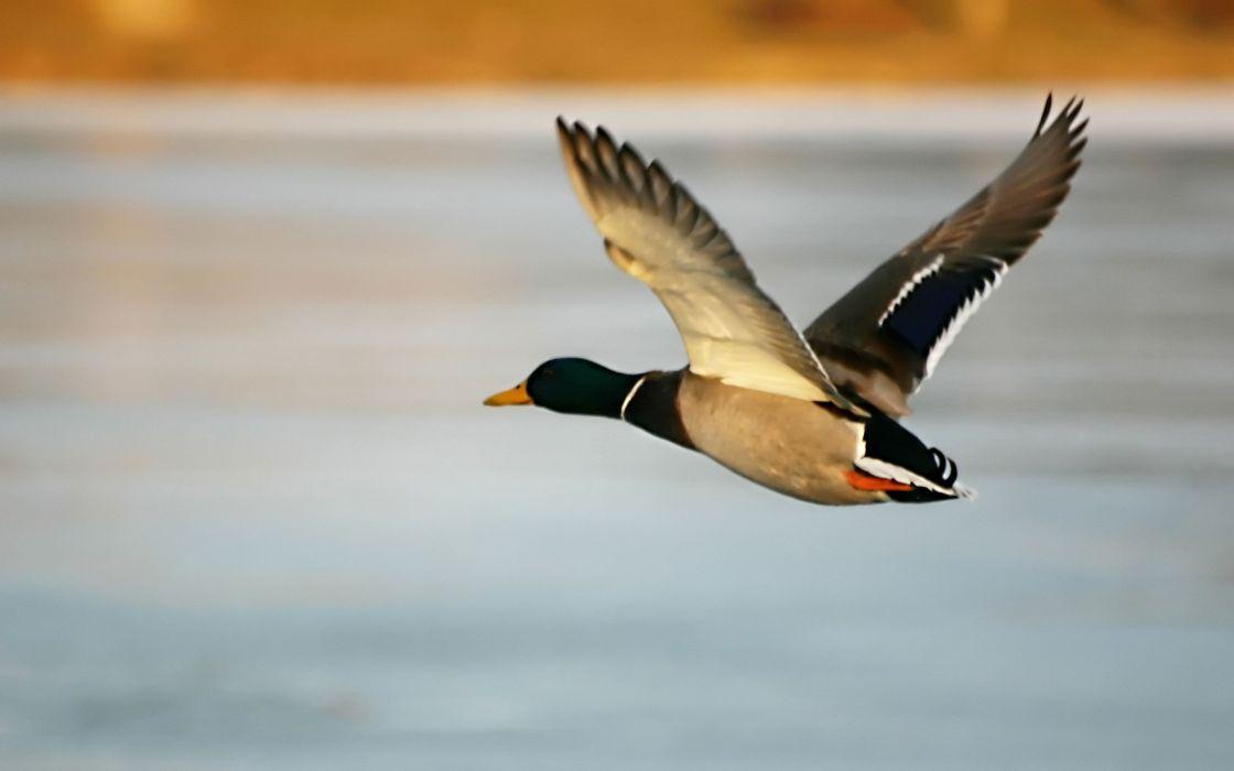 Birds ducks wallpaper