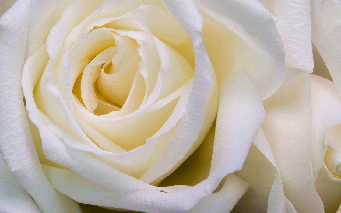 Flowers roses white flowers white rose wallpaper