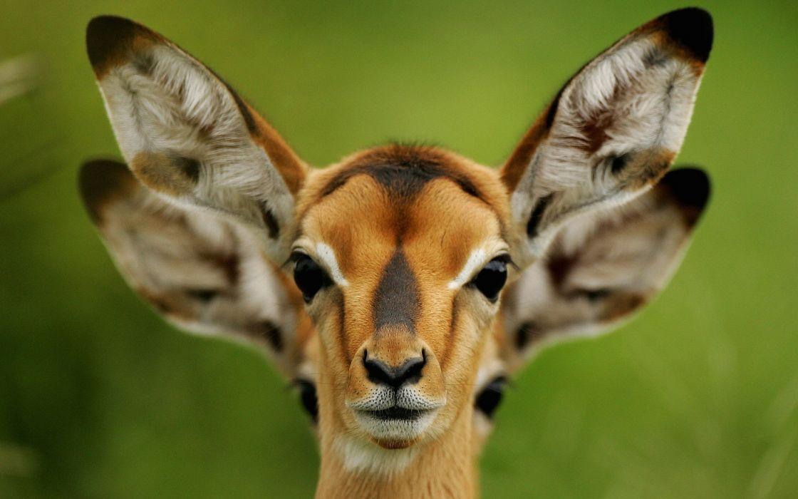 animals other animals antelopes deer cute nature wildlife wallpaper