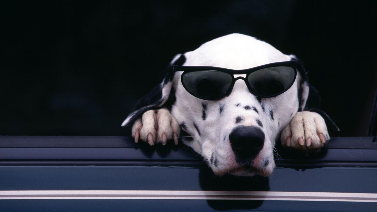 animals dogs humor funny sunglasses wallpaper