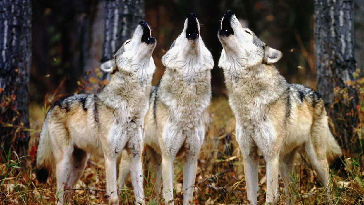 animals wolves canines forests trees nature wallpaper