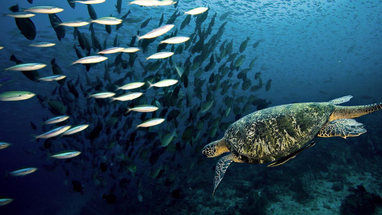 animals reptiles turtles underwater fishes wallpaper