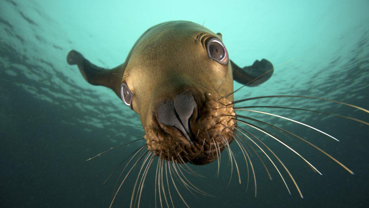 animals seals underwater sealife wallpaper