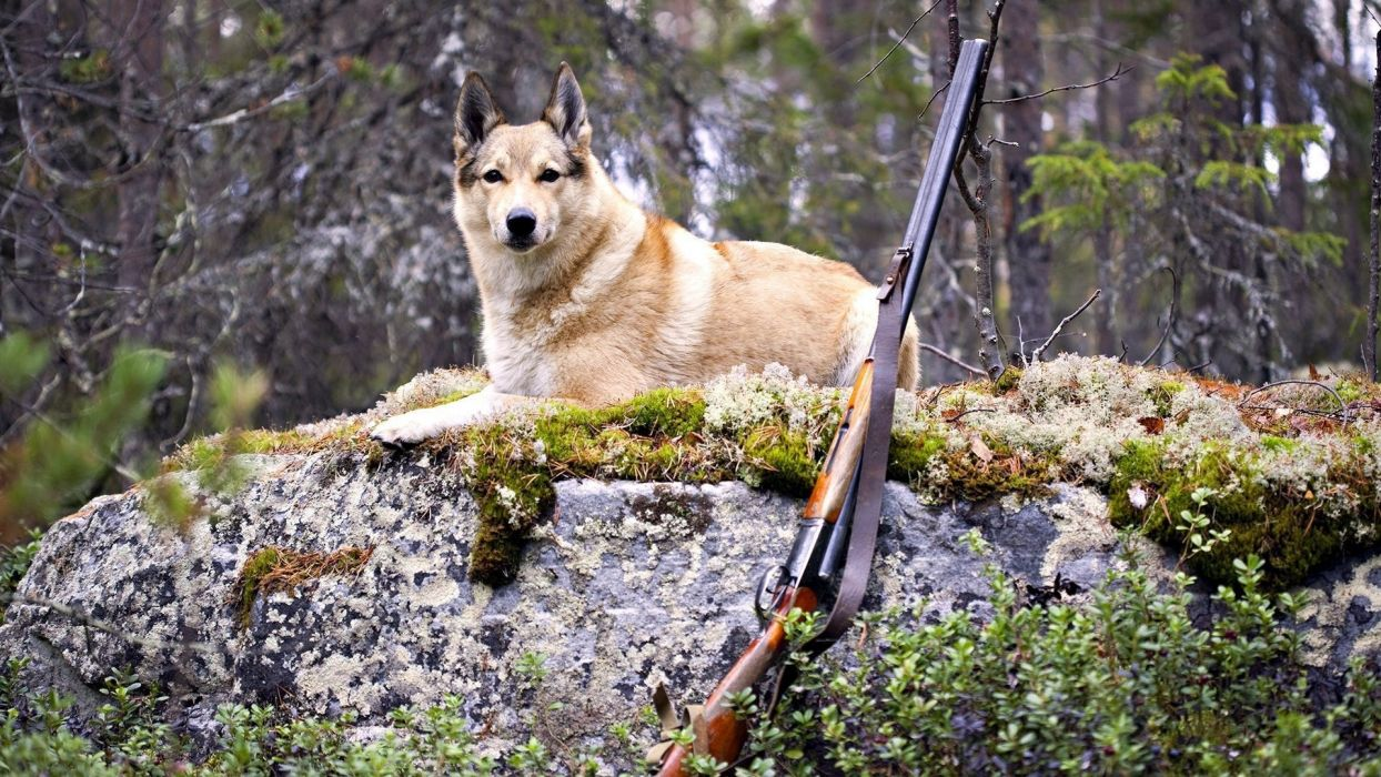 animals dogs canines weapons guns hunting nature wallpaper