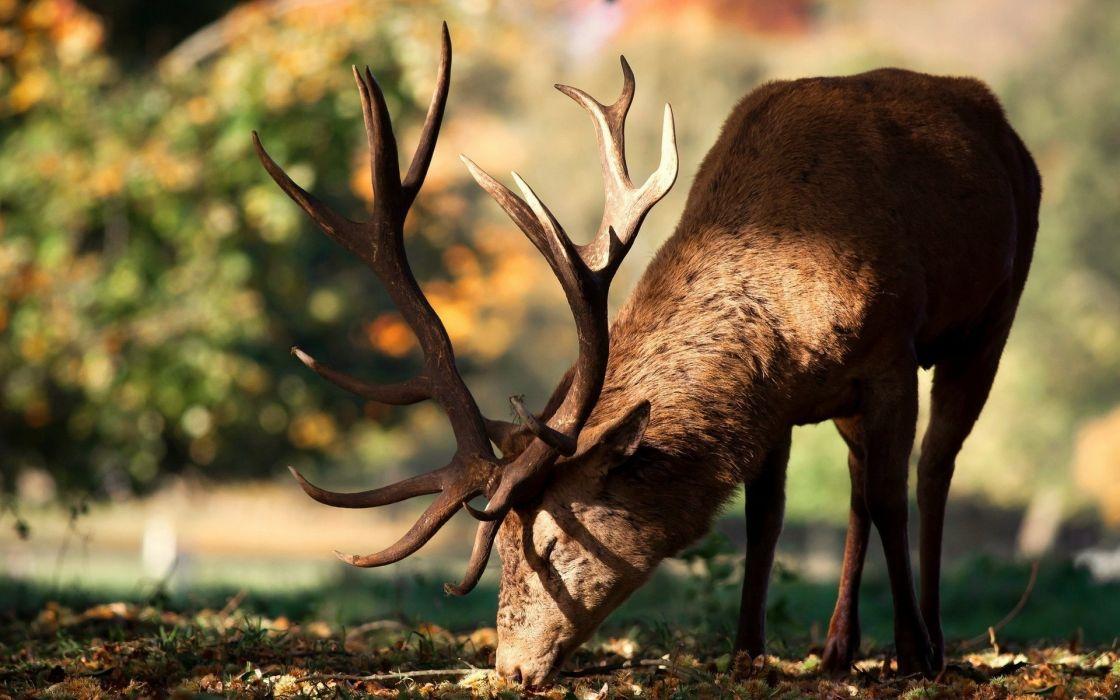 animals deer forests nature wallpaper
