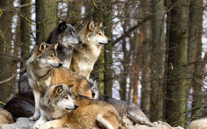 trees forests wolves wallpaper