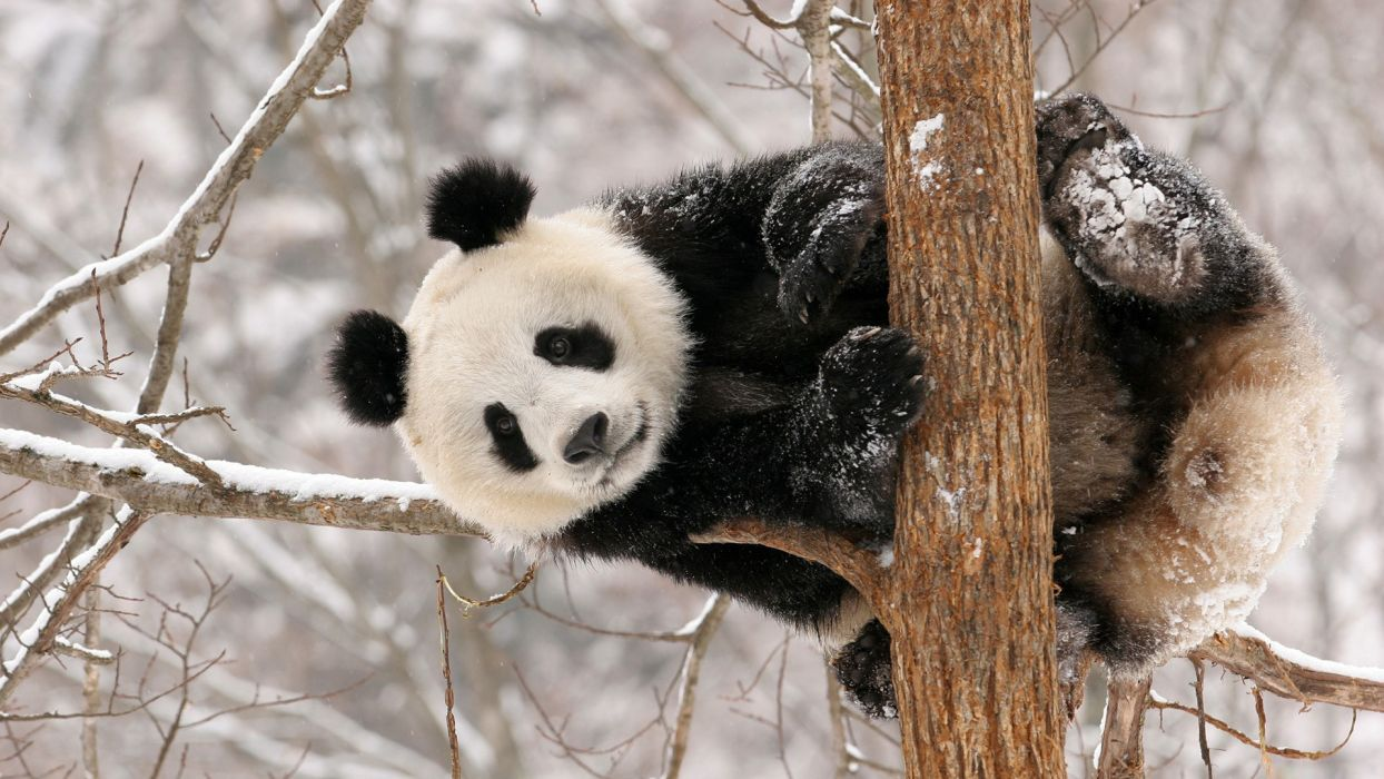 animals pandas bears cute wallpaper