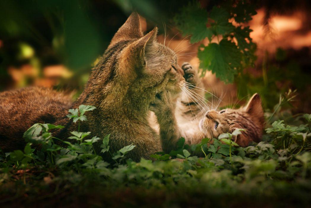 animals cats felines kittens cute wallpaper
