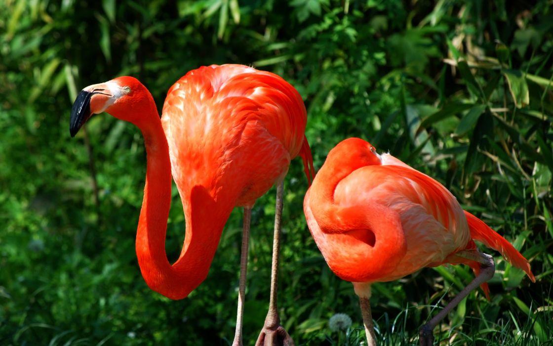 animals birds flamingos colors wallpaper