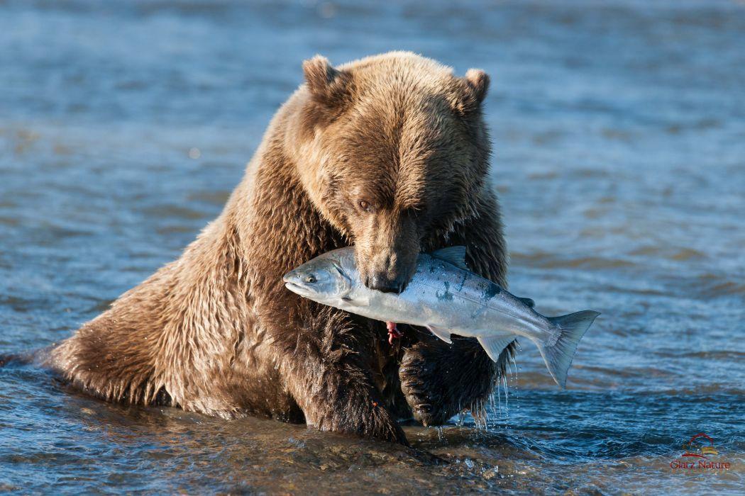 animals bears fishes alaska rivers nature predators wallpaper