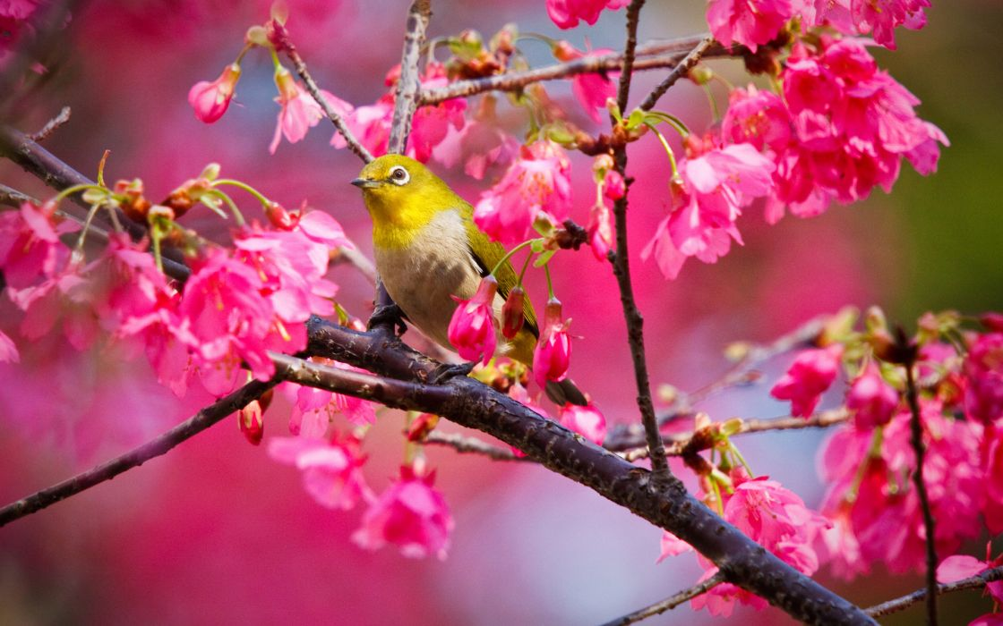 animals birds nature trees flowers blossoms colors pink wallpaper