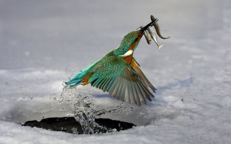 animals birds nature fishesmhunting flying wings feathers fishing wallpaper