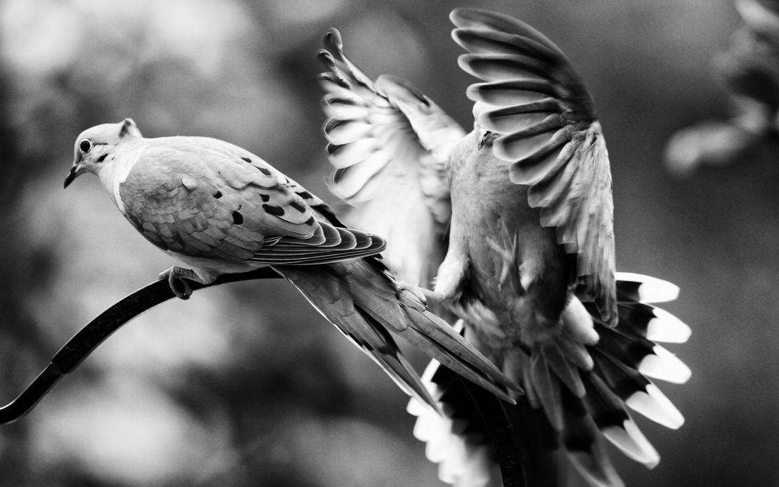 animals birds black-and-white b/w wings wallpaper